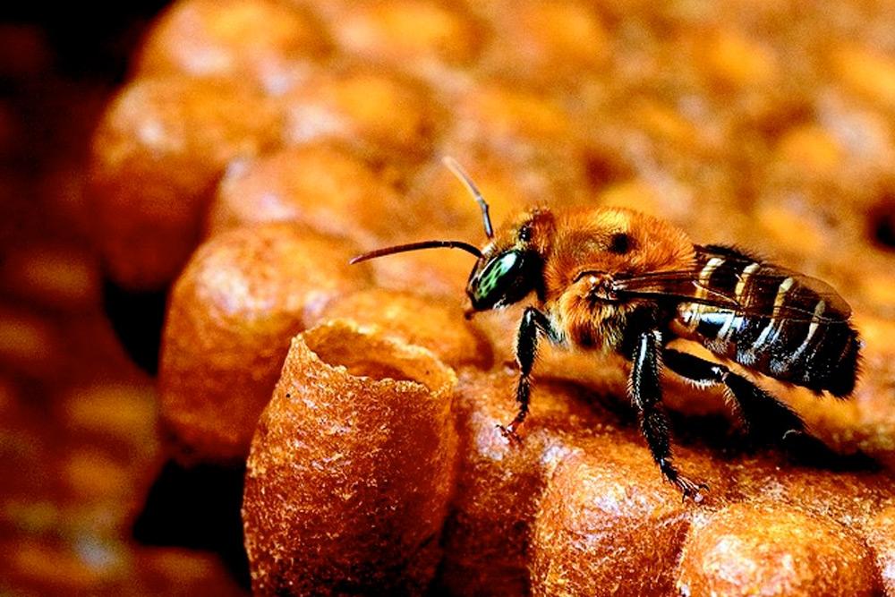 abelha-sem-ferrao